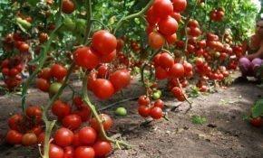 Агротехника для сортов высокорослых помидоров