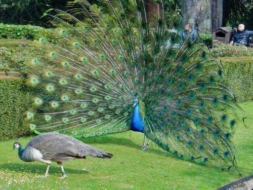 Яванская порода зеленых павлинов