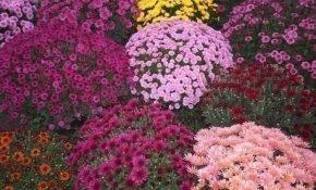 Самые красивые сорта мелкоцветковых хризантем