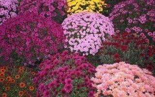 Разновидности и сорта мелкоцветковых хризантем, которые вы можете посадить у себя в саду