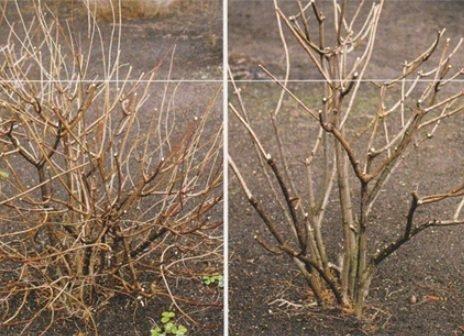 Метельчатая гортензия до и после обрезки