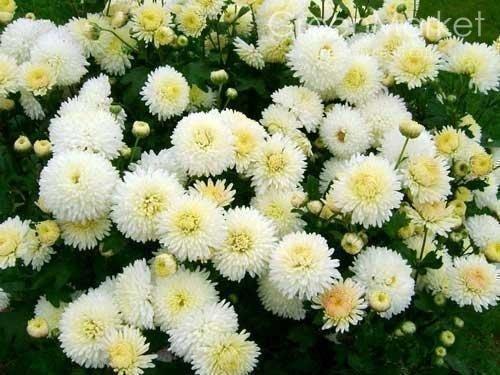 Белоцветкая хризантема