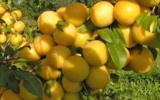 Как правильно выращивать алычу Гек