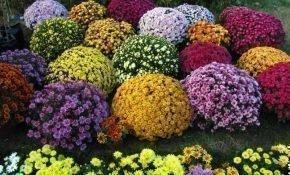 Как правильно выращивать хризантемы мультифлора