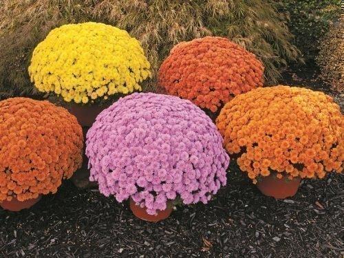 Хризантема мультифлора в период цветения