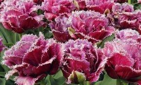 ТОП-5 самых красивых сортов бахромчатых тюльпанов