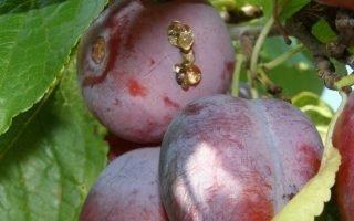 Причины появления смолы на плодах сливы