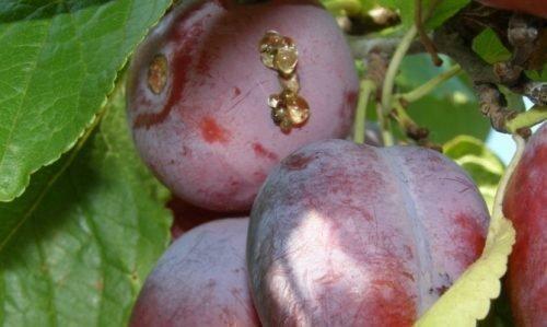 Смола на плодах сливы