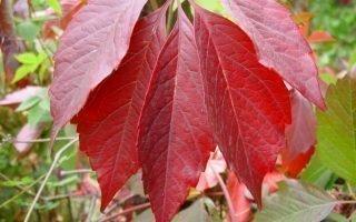10 секретов выращивания девичьего пятилисточкового винограда