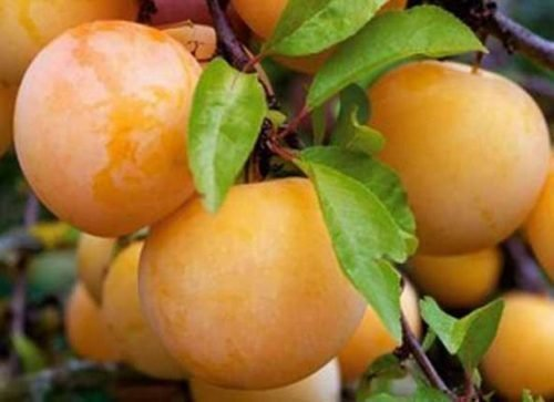 Спелые плоды алычи Гек