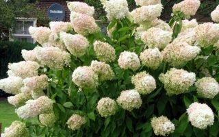 Выращивание метельчатых гортензий Грандифлора