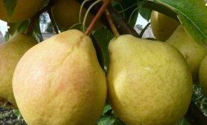 Как вырастить грушу Рогнеда