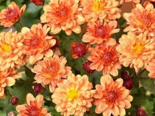 Полумахровая хризантема