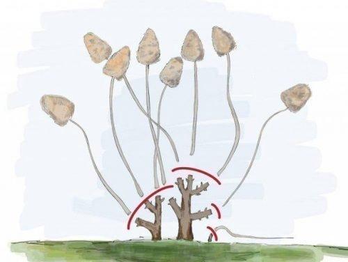 Обезка метельчатых гортензий