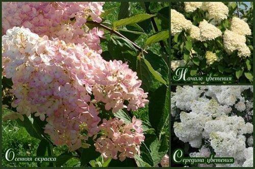 Цвет соцветий в разное время
