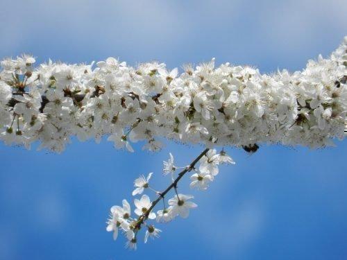 Цветение алычи Гек