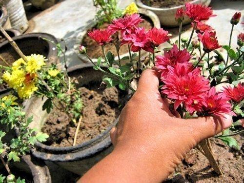 Правила пересадки хризантемы осенью