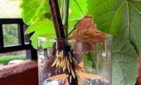 Методы размножения винограда зимой
