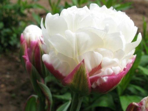 тюльпан пломбир