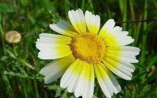 Секреты разведения и применения увенчанной хризантемы