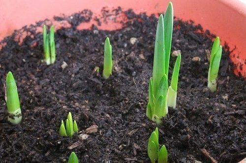 Луоквицы для пересадки весной