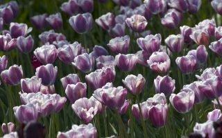 Выращивание тюльпанов Флеминг Флаг
