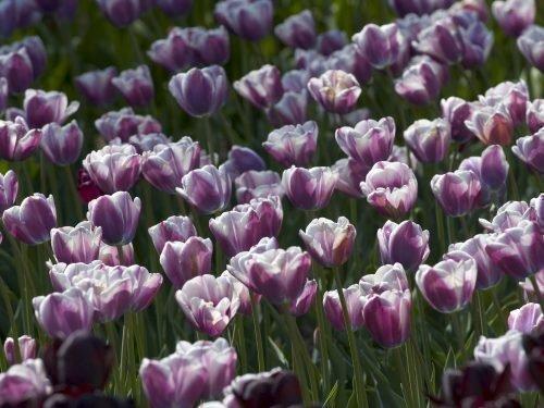 Тюльпаны Флэмминг Стар