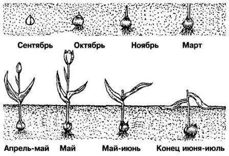 Процесс развития тюльпанов
