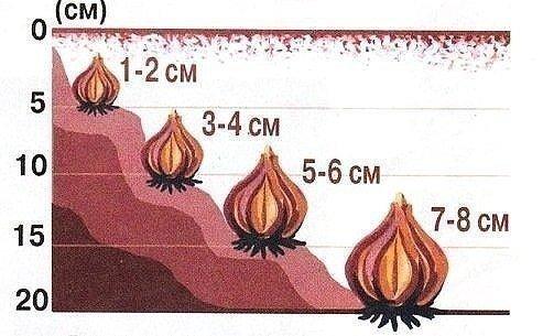 Глубина посадки луковиц тюльпанов в зависимости от размера