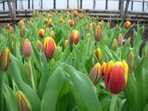 Тюльпаны Веранди в теплице