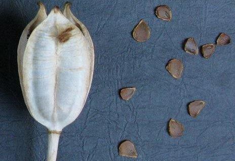 Семена двухцветковых тюльпанов