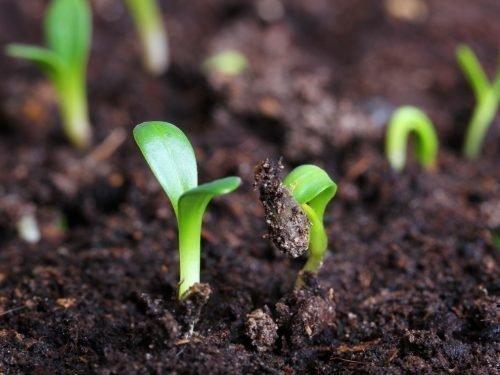 Всходы семян тюльпана