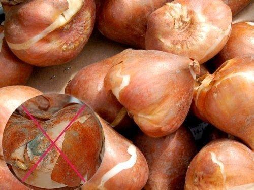Серая гниль на луковицах тюльпанов