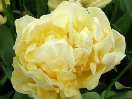 Бутон сорта тюльпана Верона