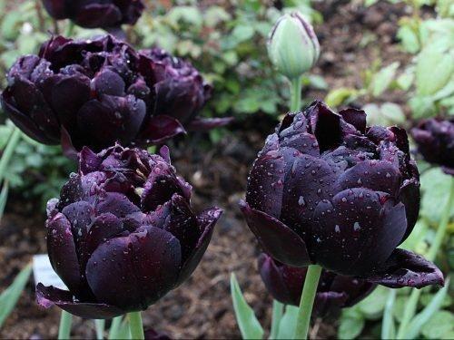 Тюльпаны Черный Герой