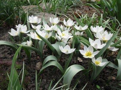 Дикрастущие двухцветковые тюльпаны