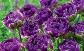 Как правильно сажать и выращивать тюльпаны Блю