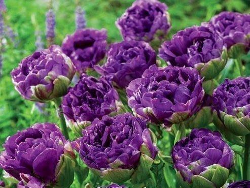 Тюльпаны Блю Вау на клумбе