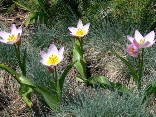 Тюльпаны цветут среди овсянницы