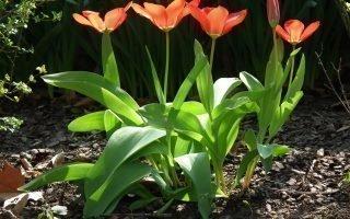 Все о происхождении и агротехнике для тюльпанов