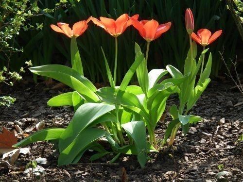 Тюльпан, растение