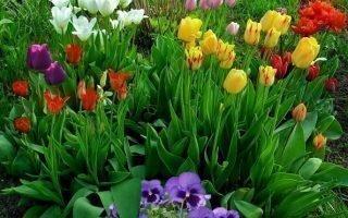 Что можно выращивать на клумбе рядом с тюльпанами