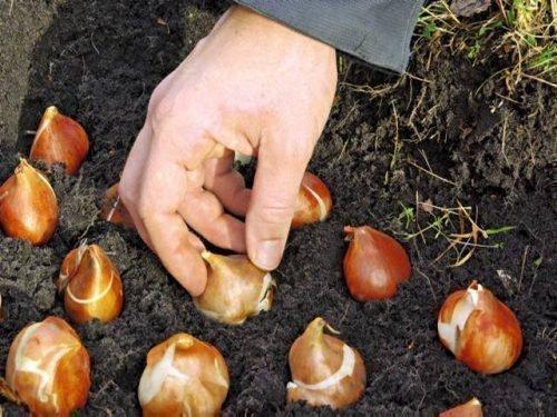 Посадка луковиц в почву