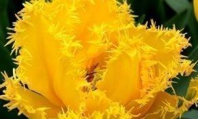 Выращивание бахромчатых тюльпанов Кристалл Стар