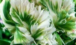 Как правильно вырастить тюльпаны Супер Пэррот