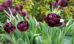 Техника посадки тюльпанов Блэк Хироу и правила ухода за ними