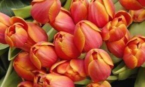 Выращивание тюльпанов сорта Веранди