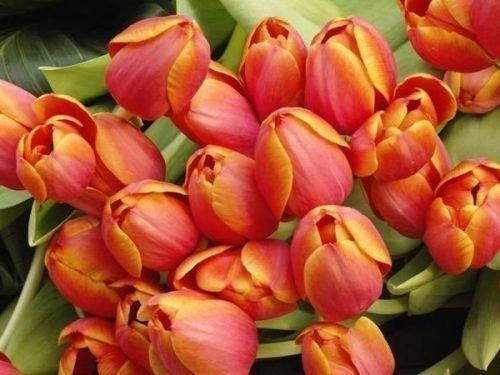 Тюльпаны Веранди