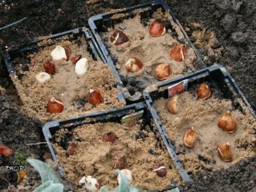 Посадка тюльпанов в ящики