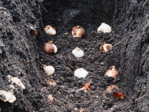 Посадка в грунт луковиц тюльпанов